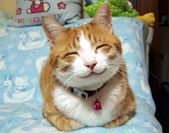 Cute cats - Japanese cat smiling on bed