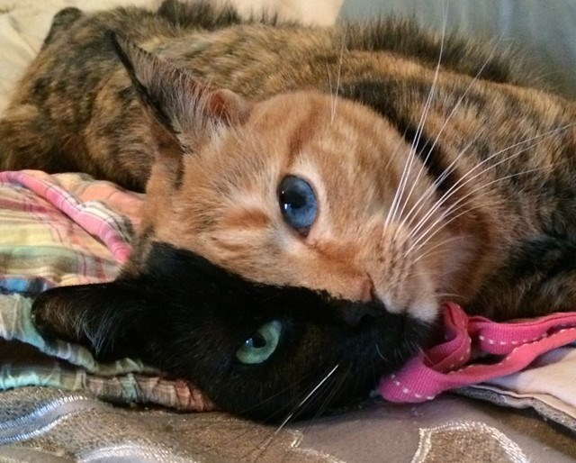 Cute cats - two-toned color cat