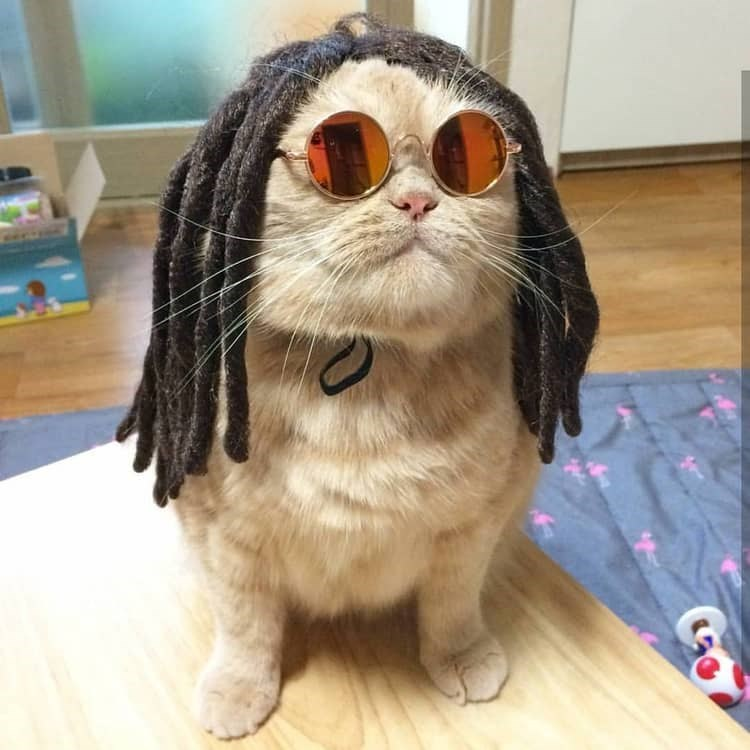 Cute cats - Cat dressed with dreads and sunglasses