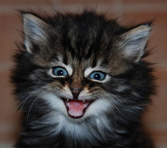 Cute cats - kitten with a huge grin