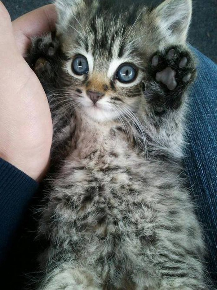 Cute cats - kitten with his hands in the air on a man's lap