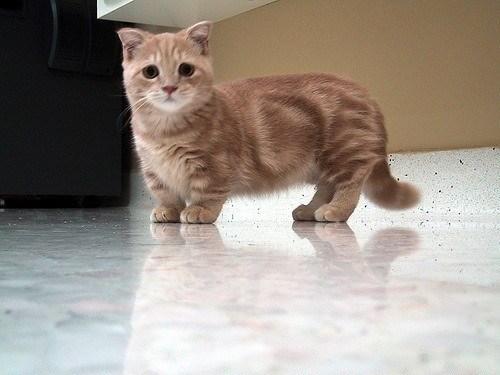 Cute cats - Munchkin