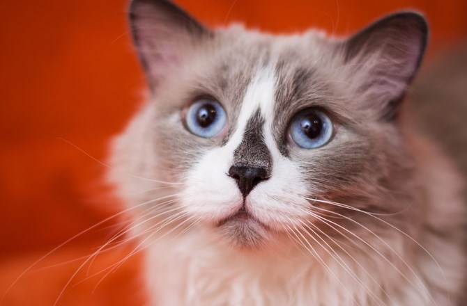 Cute cats - Ragdoll