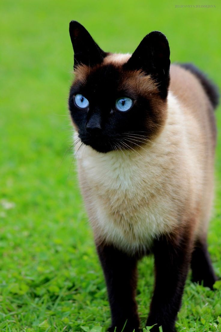 Cute cats - Siamese