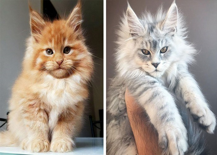 Cute cats - Maine Coon