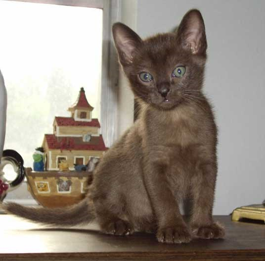 Cute cats - Burmese Cat