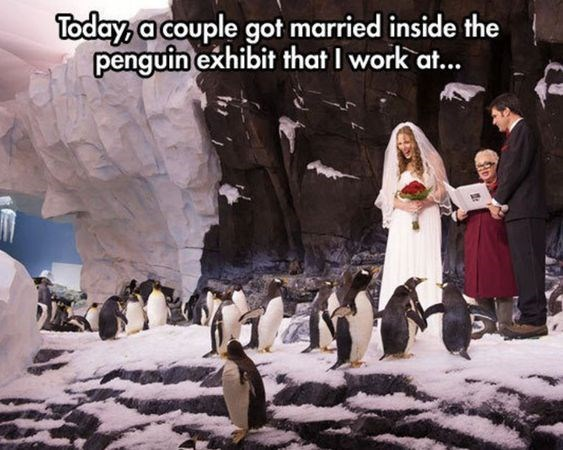 funny penguins - Flightless bird - Today, a couple got married inside the penguin exhibit that I work at...