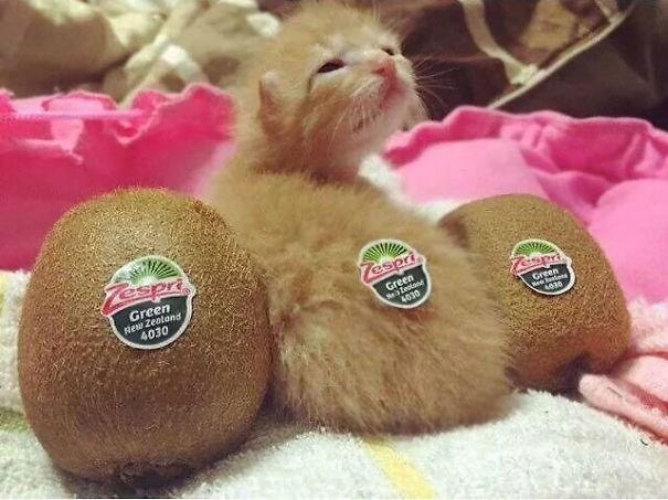 Cute cats - Kitten looks like two kiwis beside it