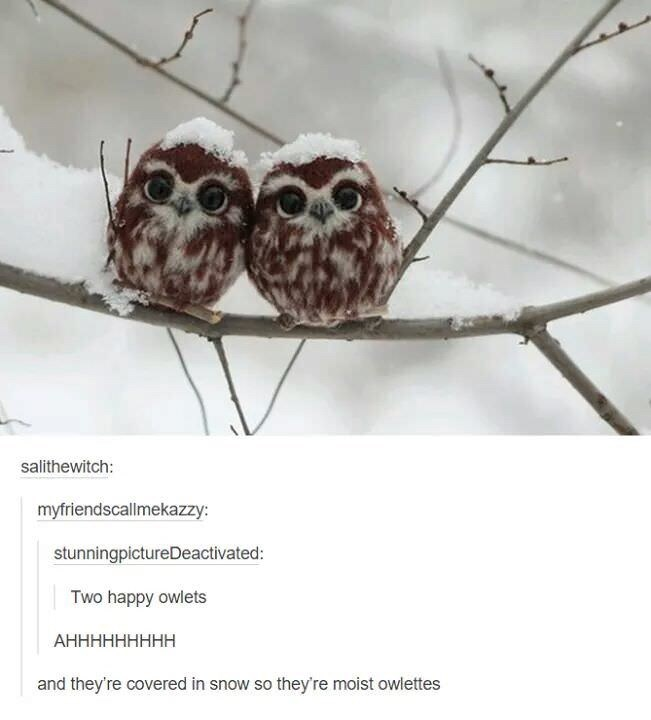 meme - Owl - salithewitch: myfriendscallmekazzy: stunningpictureDeactivated: Two happy owlets АННННННННН and they're covered in snow so they're moist owlettes