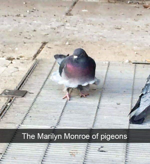 """Funny Snapchat text that reads, """"The Marilyn Monroe of Pigeons"""" below a photo of a pigeon walking over a vent with its feathers ruffled"""