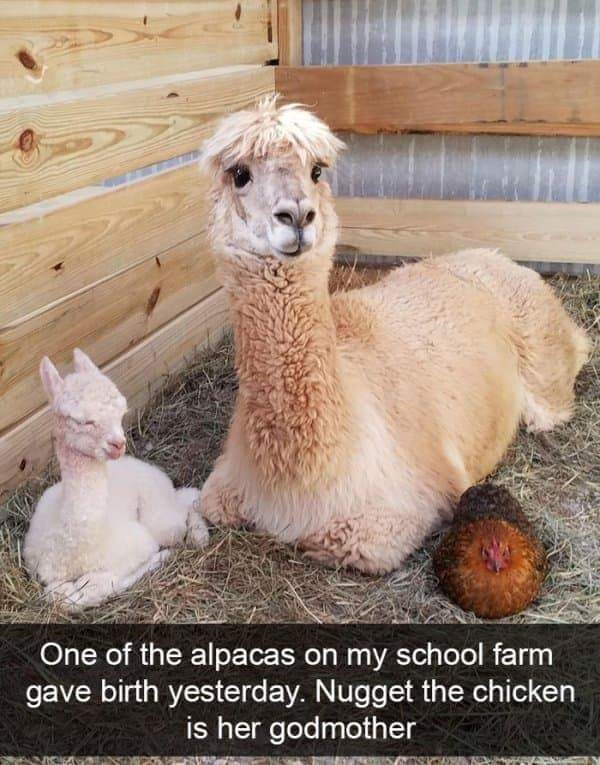 """Funny Snapchat text that reads, """"One of the alpacas on my school farm gave birth yesterday. Nugget the chicken is her godmother"""" below a photo of an alpaca, its baby and a chicken"""