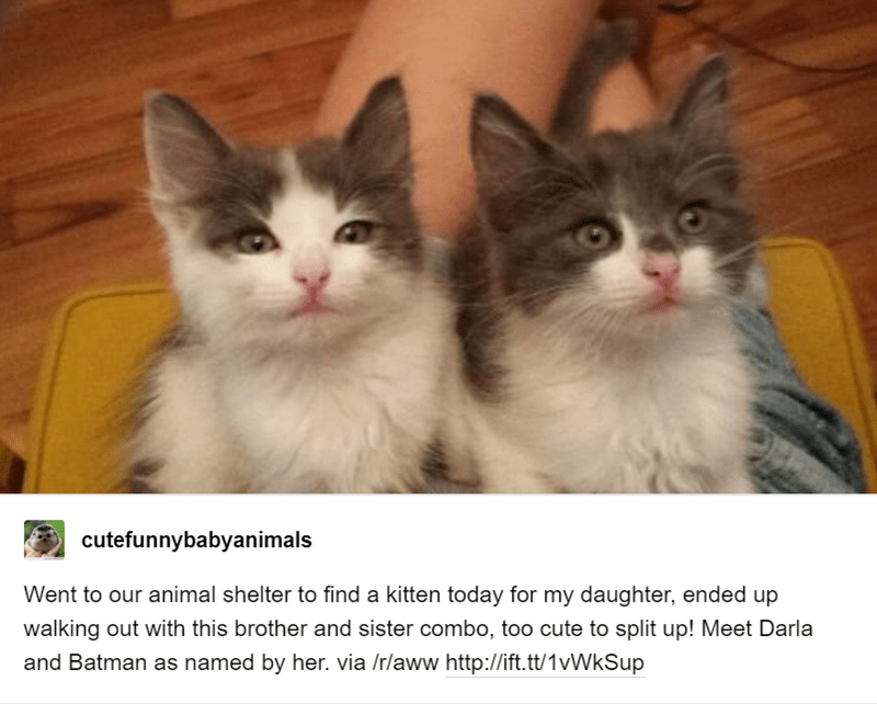 baby animals - Cat - cutefunnybabyanimals Went to our animal shelter to find a kitten today for my daughter, ended up walking out with this brother and sister combo, to0 cute to split up! Meet Darla and Batman as named by her. via /r/aww http://ift.tt/1vWkSup