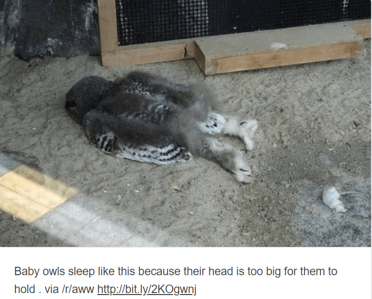 baby animals - Zoo - Baby owls sleep like this because their head is too big for them to hold . via /r/aww http://bit.ly/2KOgwnj