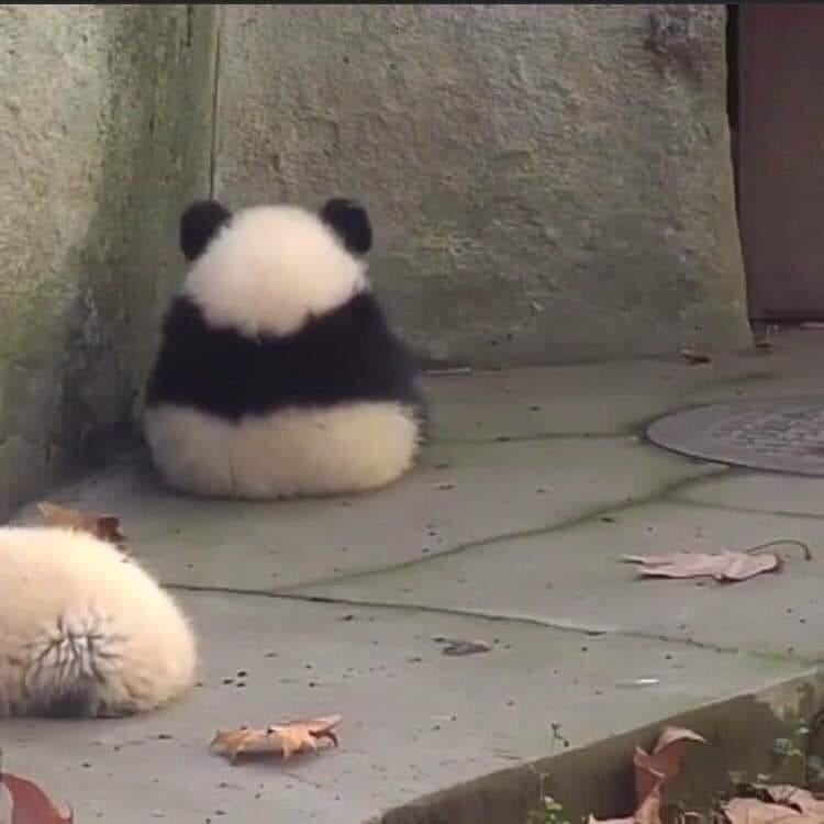 cute animals - Panda