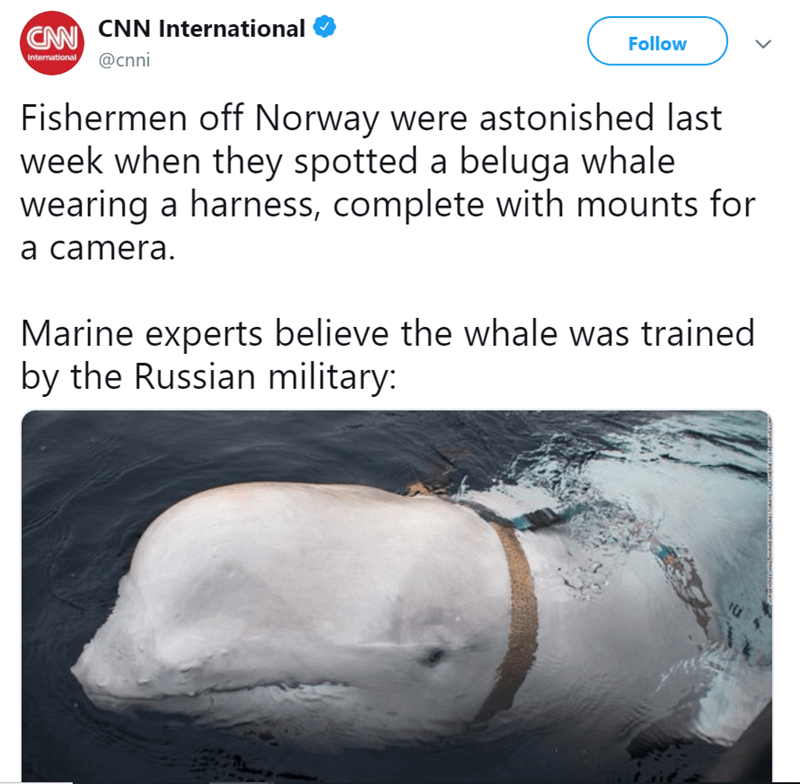 Text - CAN CNN International International @Cnni Follow Fishermen off Norway were astonished last week when they spotted a beluga whale wearing a harness, complete with mounts for a camera. Marine experts believe the whale was trained by the Russian military: