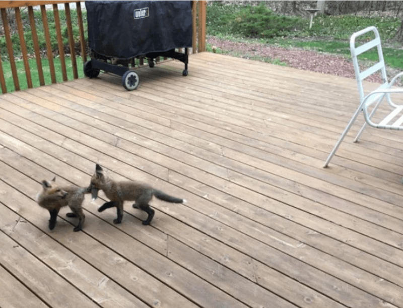 baby foxes - Deck