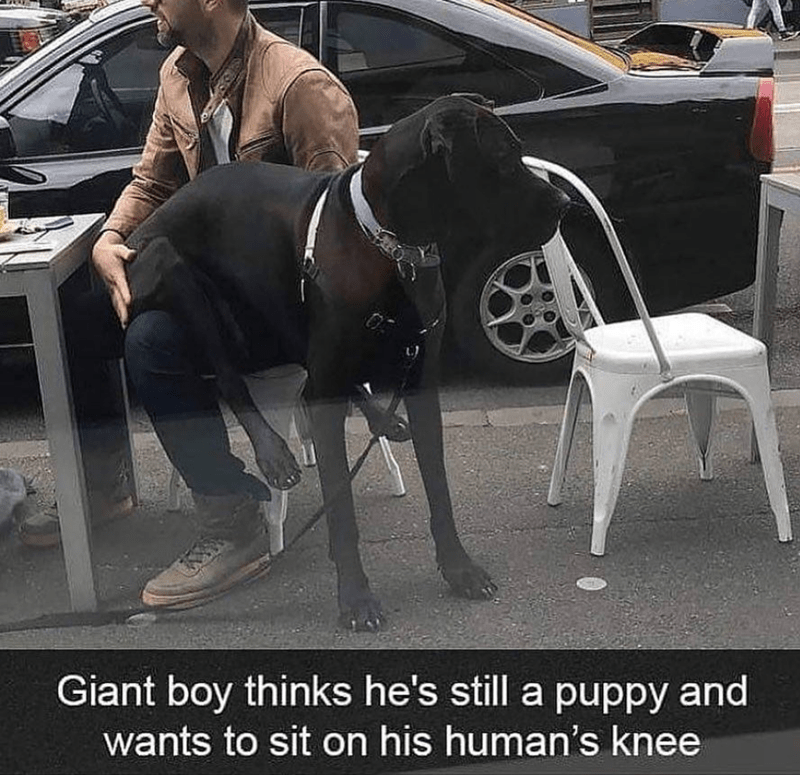 Canidae - Giant boy thinks he's still a puppy and wants to sit on his human's knee