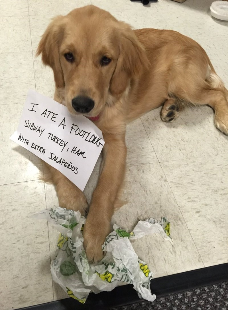 """Funny photo of a golden retriever puppy with a sign around his neck that reads, """"I ate a footlong Subway turkey, ham with extra jalapenos"""""""