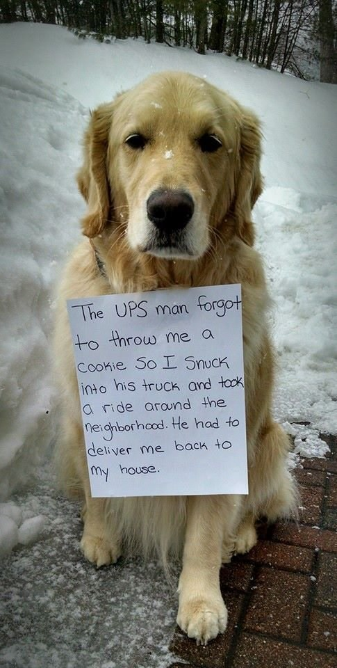 """Funny photo of a golden retriever with a sign around his neck that reads, """"The UPS man forgot to throw me a cookie so I snuck into his truck and took a ride around the neighborhood. He had to deliver me back to my house"""""""