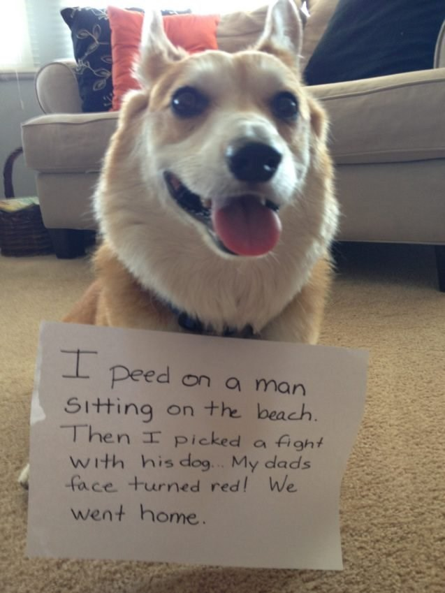 """Funny photo of a corgi with a sign around his neck that reads, """"I peed on a man sitting on the beach. Then I picked a fight with his dog. My dad's face turned red! We went home"""""""