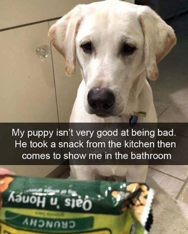 """Funny photo of a cute lab puppy with Snapchat caption that reads, """"My puppy isn't very good at being bad. He took a snack from the kitchen then comes to show me in the bathroom"""""""