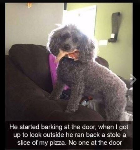 """Funny photo of a miniature poodle with a slice of pizza in its mouth and a caption below that reads, """"He started barking at the door, when I got up to look outside he ran back and stole a slice of my pizza. No one at the door"""""""