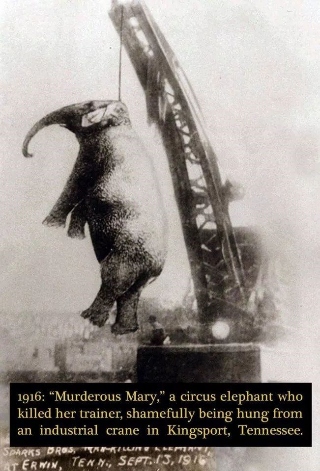 """Illustration - 1916: """"Murderous Mary,"""" a circus elephant who killed her trainer, shamefully being hung from an industrial crane in Kingsport, Tennessee. SPARKS DROS, Eun AT ERWIN, TENN, SEPT3, I9"""