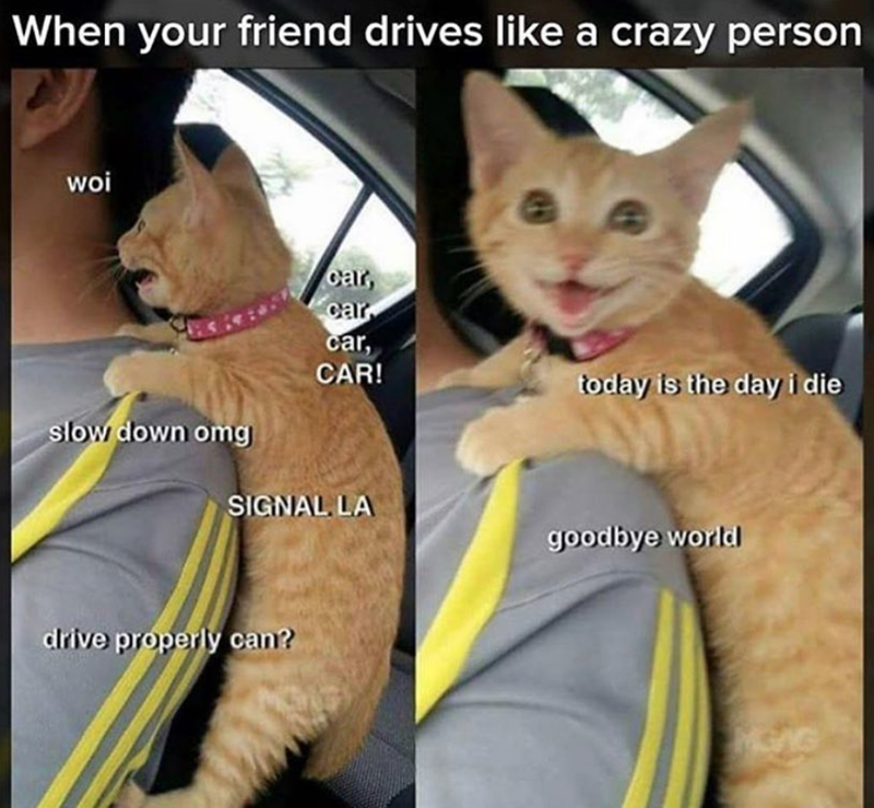 cat memes - Cat - When your friend drives like a crazy person woi car, car car, CAR! today is the dayi die slow down omg SIGNAL LA goodbye world drive properly can?