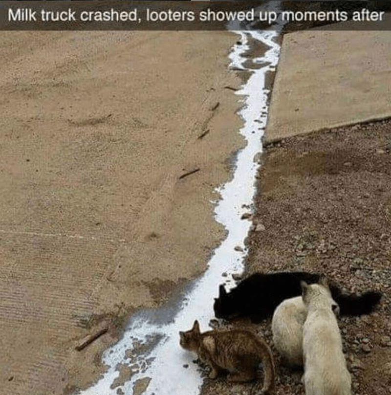 cat memes - Street dog - Milk truck crashed, looters showed up moments after