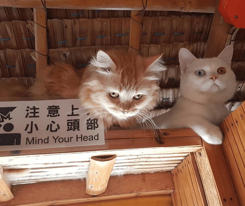 cat memes - Cat - 4注意上 小心頭部 Mind Your Head