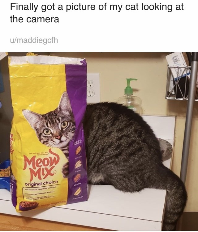 Cat - Finally got a picture of my cat looking at the camera u/maddiegcfh The anty one cate es by oame Meow C Phey Original choice SALMON N NL uOT EAw a eceAN FI ceLAIg
