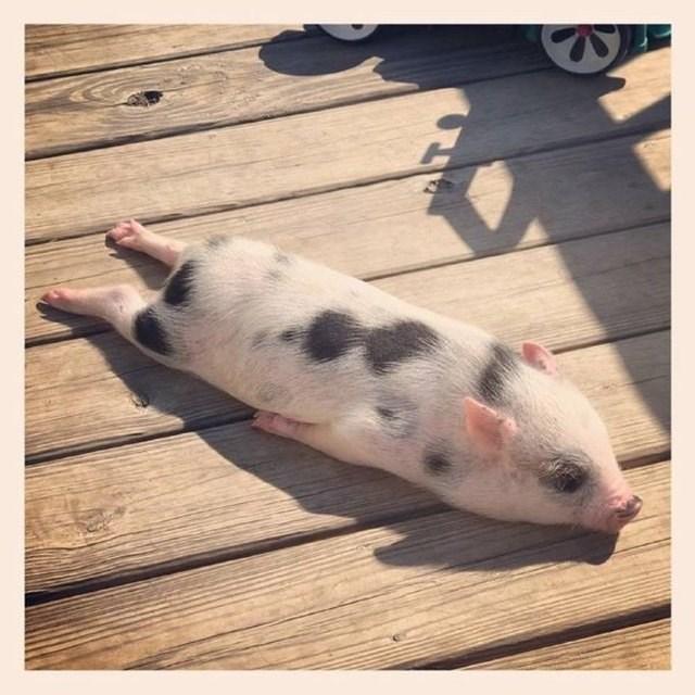 cute pigs - Suidae