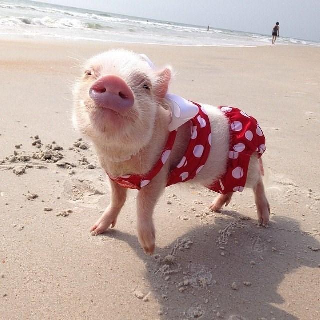 cute pigs - Domestic pig