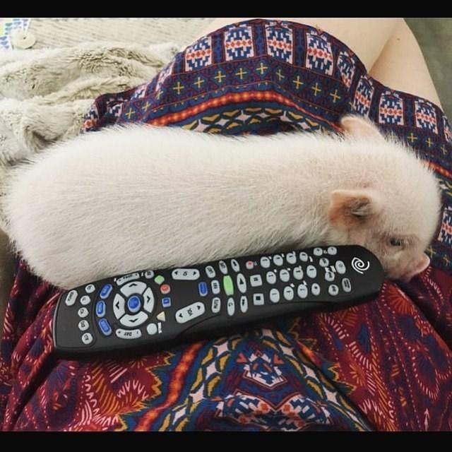 cute pigs - Cat - + + + + + +