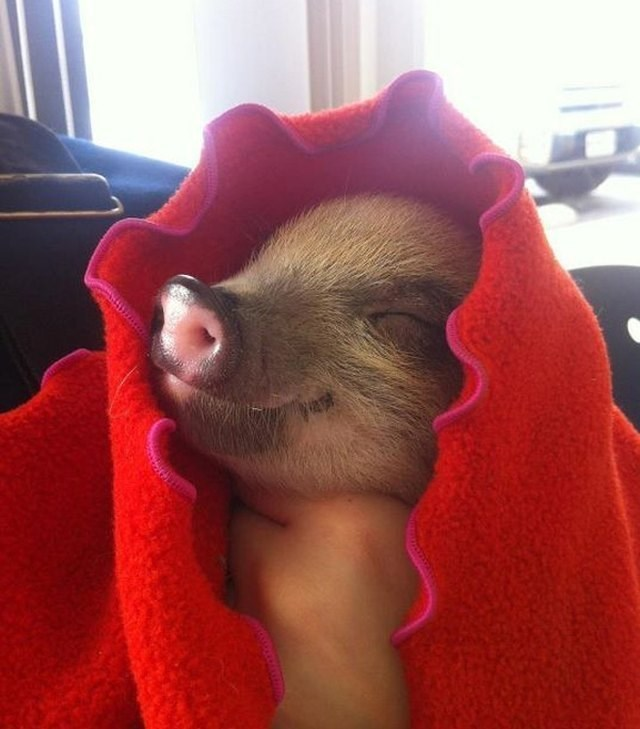 cute pigs - Mammal
