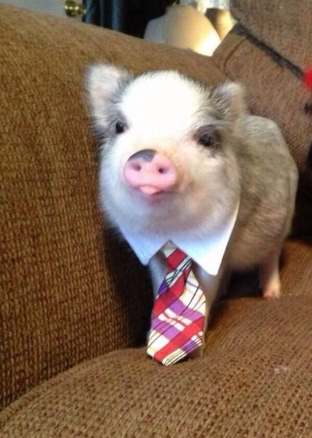 cute pigs - Vertebrate