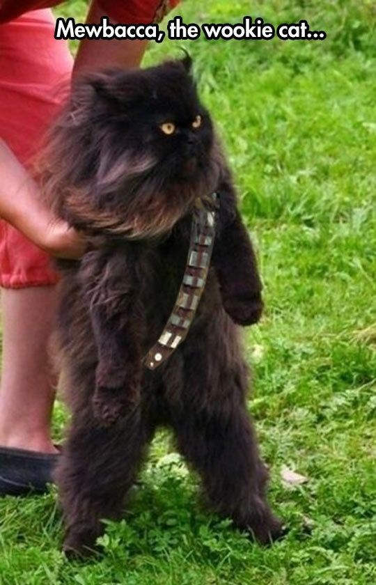 Dog - Mewbacca, the wookie cat..