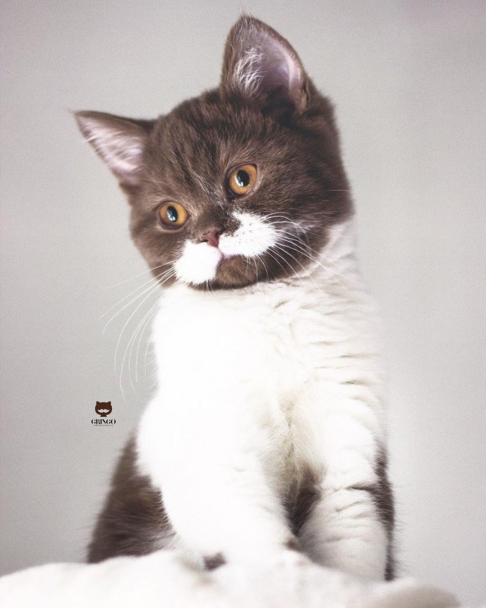 cat with mustache - Cat - GRINGO