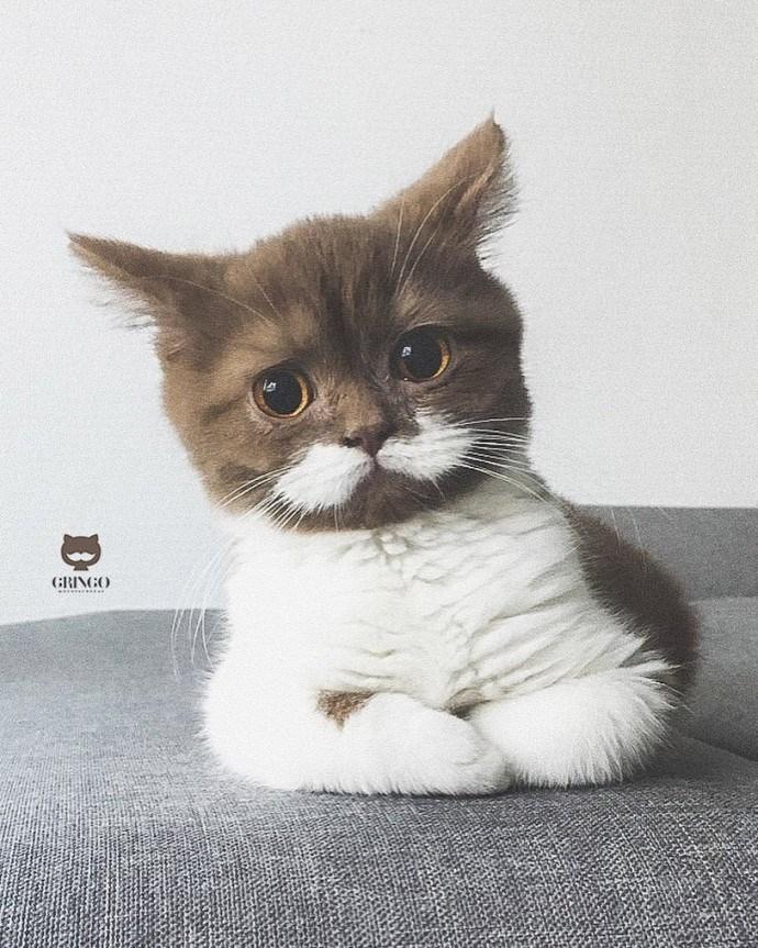 cat with mustache - Cat - GRINGO D