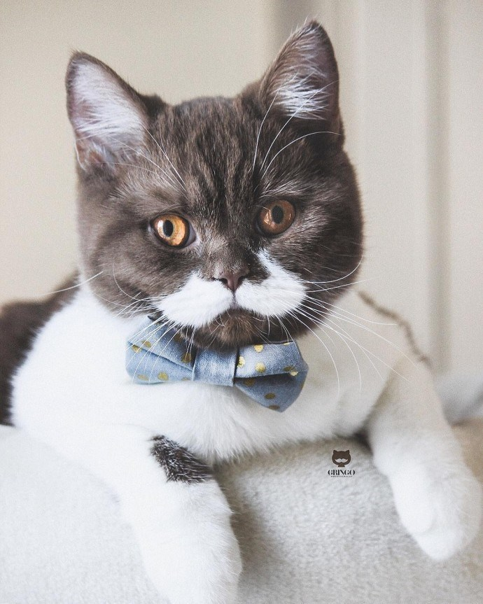 cat with mustache - Cat - (GRINGO