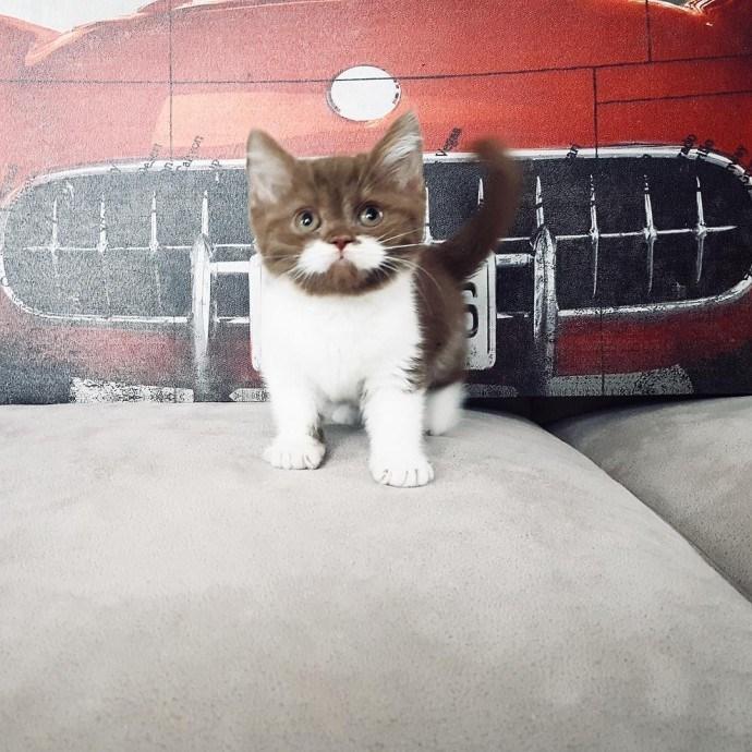 cat with mustache - Cat - Vegas