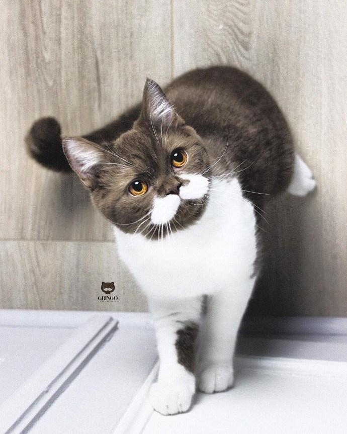 cat with mustache - Cat - (RINGO