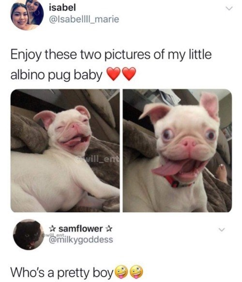 Skin - isabel @lsabelll marie Enjoy these two pictures of my little albino pug baby rwill ent samflower will ent. @milkygoddess Who's a pretty boy