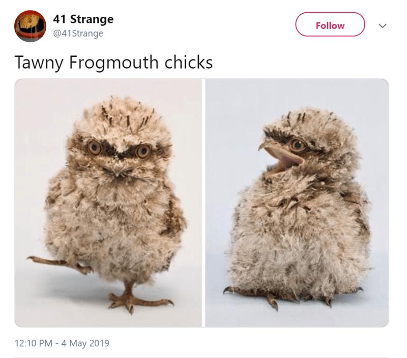 Adaptation - 41 Strange Follow @41Strange Tawny Frogmouth chicks 12:10 PM 4 May 2019