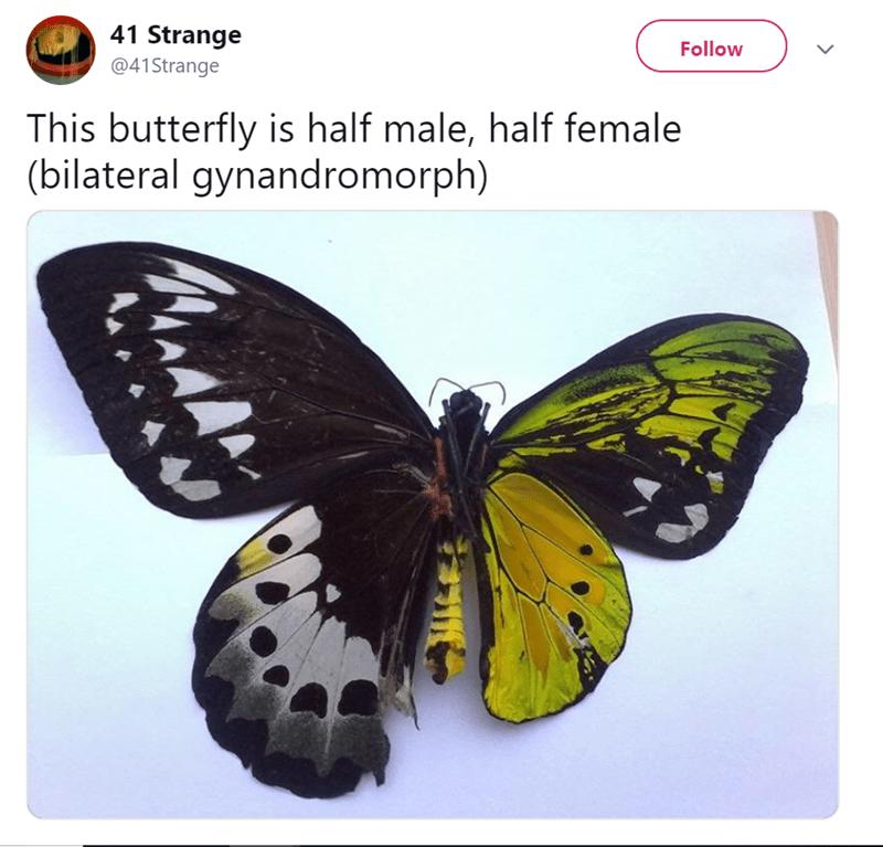 Moths and butterflies - 41 Strange Follow @41Strange This butterfly is half male, half female (bilateral gynandromorph)