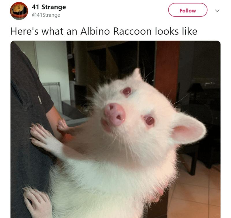White - 41 Strange Follow @41Strange Here's what an Albino Raccoon looks like