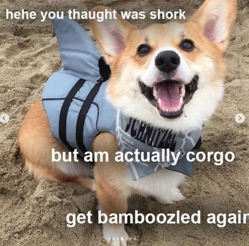 Dog - hehe you thaught was shork CH but am actually corgo get bamboozled agair