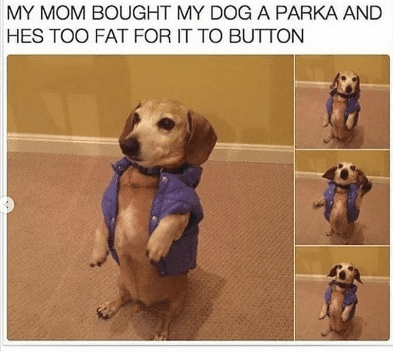 Dog - MY MOM BOUGHT MY DOGA PARKA AND HES TOO FAT FOR IT TO BUTTON