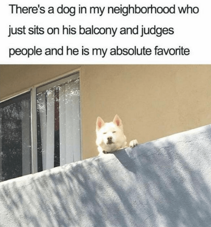 Canidae - There's a dog in my neighborhood who just sits on his balcony and judges people and he is my absolute favorite