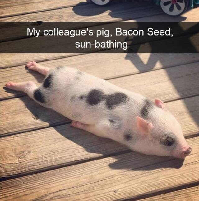 Nose - My colleague's pig, Bacon Seed, sun-bathing